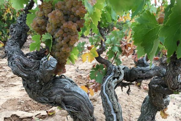 Francisco Barona - Ribera Del Duero - Viticultor Español - Uvas Blancas