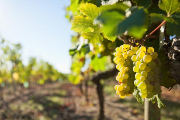 Popular White Spanish Grape Varieties
